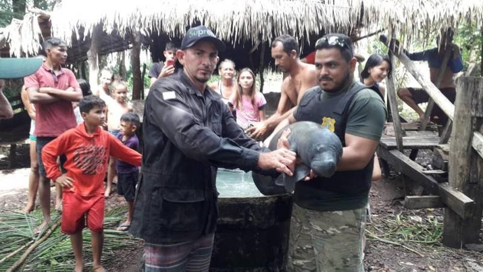 Filhote de peixe-boi é resgatado em beira de rio em Santarém
